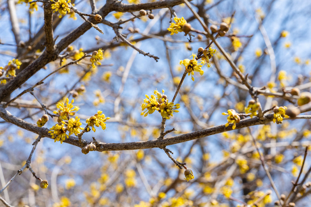 variegated-corneliancherry-dogwood