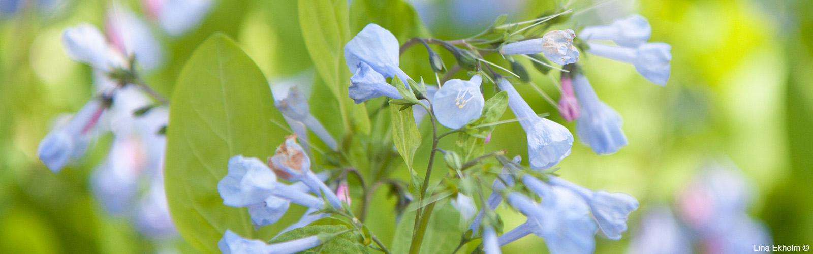 Spring Bluebells